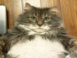 Wilford The 28-Pound Cat